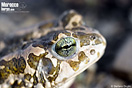 <em>Bufotes boulengeri</em><br />Localidad: Haut Atlas Oriental National Park<br />Foto: © Stefano Doglio