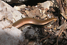 &lt;em&gt;Chalcides colosii&lt;/em&gt;&lt;br /&gt;Localidad: Parc National de Talassemtane&lt;br /&gt;Foto: &copy; Mohamed Mediani