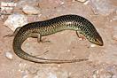 <em>Chalcides polylepis</em><br />Localidad: Guelmin<br />Foto: © Gabri Mtnez