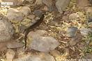 <em>Chalcides polylepis</em><br />Localidad: Entre Sidi Ifni y Guelmin<br />Foto: © Juan Pablo González de la Vega