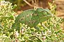 <em>Chamaeleo chamaeleon</em>. Adulto. <br />Localidad: Tan-Tan<br />Foto: © Baudilio Rebollo Fernández
