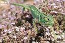 <em>Chamaeleo chamaeleon</em>. Adulto. <br />Localidad: Tiznit<br />Foto: © J. Gállego