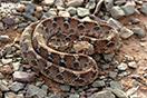 <em>Echis leucogaster</em><br />Localidad: Assa<br />Foto: © Gabri Mtnez