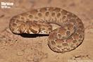 <em>Echis leucogaster</em><br />Localidad: Tata<br />Foto: © Baudilio Rebollo Fernández