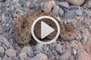 Echis leucogaster por Baudilio Rebollo & Gabri Mtnez