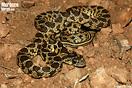 <em>Hemorrhois hippocrepis</em>.<br />Localidad: Taroundat<br />Foto: © Gabri Mtnez