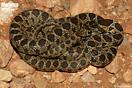 <em>Hemorrhois hippocrepis</em>.<br />Localidad: Tendrara<br />Foto: © Gabri Mtnez