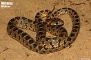 <em>Hemorrhois hippocrepis</em>. <br />Localidad: Saidia<br />Foto: © Gabri Mtnez