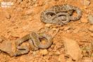 <em>Hemorrhois hippocrepis</em>. Juveniles. <br />Localidad: Tiznit<br />Foto: © J. Gállego
