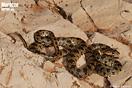 <em>Hemorrhois hippocrepis</em>. <br />Localidad: Zaida National Park<br />Foto: © Daniel Escoriza