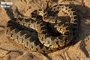 <em>Hemorrhois hippocrepis</em>.<br />Localidad: Saidia<br />Foto: © Gabri Mtnez