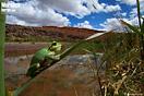 <em>Hyla meridionalis</em><br />Localidad: Ouazarzate<br />Foto: © Javier Aznar