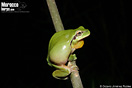 <em>Hyla meridionalis</em><br />Localidad: Ifran<br />Foto: © Octavio Jiménez Robles