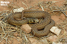 <em>Malpolon monspessulanus saharatlanticus</em>. Juvenil. <br />Localidad: Guelmim<br />Foto: © Gabri Mtnez