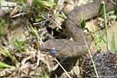 <em>Malpolon monspessulanus monspessulanus</em>. Juvenil mudando. <br />Localidad: Parque Nacional Talamsetanne<br />Foto: © Juan M. Pleguezuelos