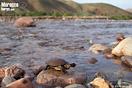 <em>Mauremys leprosa</em>. Juvenil en su hábitat. <br />Localidad: Taferiate<br />Foto: © David Hegner