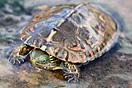 <em>Mauremys leprosa</em>. Juvenil. <br />Localidad: Guelmin<br />Foto: © Gabri Mtnez