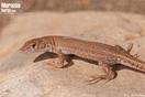 <em>Mesalina guttulata</em><br />Localidad: Errachidia (Marruecos)<br />Foto: © G. Booth-Rea