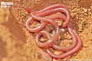 <em>Myriopholis algeriensis</em><br />Localidad: Tazenakht (Marruecos)<br />Foto: © Baudilio Rebollo Fernández