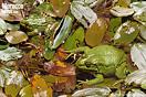 <em>Pelophylax saharicus</em><br />Localidad: Oukaimeden<br />Foto: © Pierre-Yves Vaucher