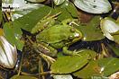 <em>Pelophylax saharicus</em>. Macho. <br />Localidad: Oukaimeden<br />Foto: © Pierre-Yves Vaucher