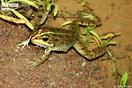 <em>Pelophylax saharicus</em><br />Localidad: Agdz<br />Foto: © Gabri Mtnez