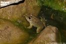 <em>Pelophylax saharicus</em><br />Localidad: Ameskroud<br />Foto: © Juan Pablo González de la Vega