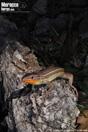 <em>Psammodromus algirus</em><br />Localidad: La Mamora<br />Foto: © Juanra Fernández Cardenete