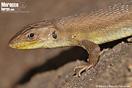 <em>Psammodromus algirus</em><br />Localidad: Kenitra<br />Foto: © Baudilio Rebollo Fernández