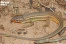 <em>Psammodromus algirus</em><br />Localidad: Kenitra<br />Foto: © Gabri Mtnez