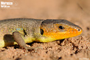 <em>Psammodromus algirus</em><br />Localidad: Kenitra<br />Foto: © J. Gállego