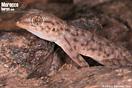 <em>Ptyodactylus oudrii</em><br />Localidad: Agdz<br />Foto: © Alfredo Sánchez-Tójar
