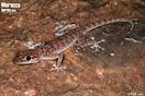 <em>Ptyodactylus oudrii</em><br />Localidad: Figuig<br />Foto: © Raúl León