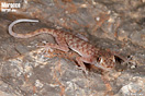 <em>Ptyodactylus oudrii</em>. Neonato.<br />Localidad: Figuig<br />Foto: © Raúl León