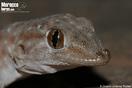 <em>Ptyodactylus oudrii</em><br />Localidad: Tata<br />Foto: © Octavio Jiménez Robles