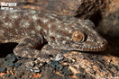 <em>Ptyodactylus oudrii</em><br />Localidad: Djebel Lekst<br />Foto: © J. Gállego