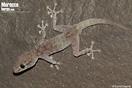 <em>Ptyodactylus oudrii</em><br />Localidad: Assa<br />Foto: © David Hegner