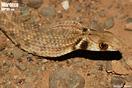 <em>Rhagerhis moilensis</em><br />Localidad: Guelmim (Marruecos). <br />Foto: © Gabri Mtnez