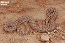 <em>Rhagerhis moilensis</em><br />Localidad: Fask (Marruecos). <br />Foto: © Gabri Mtnez
