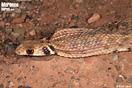 <em>Rhagerhis moilensis</em><br />Localidad: Guelmim (Marruecos). <br />Foto: © Raúl León