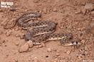 <em>Rhagerhis moilensis</em><br />Localidad: Assa (Marruecos). <br />Foto: © Raúl León