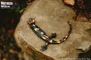 Ejemplar depredado de <em>Salamandra algira</em>.<br />Localidad: Ous-Dara<br />Foto: © Juan Pablo González de la Vega