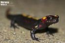 <em>Salamandra algira</em>.<br />Localidad: Rif<br />Foto: © David Herrero