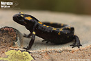 <em>Salamandra algira</em>.<br />Localidad: Rif<br />Foto: © Alberto Sánchez Vialas