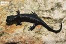 Ejemplar melánico de <em>Salamandra algira</em>.<br />Localidad: Tánger<br />Foto: © Juan Pablo González de la Vega