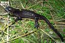 Macho de <em>Salamandra algira tingitana</em>.<br />Localidad: Taghramt<br />Foto: © Sergé Bogaerts