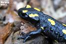 <em>Salamandra algira</em>.<br />Localidad: Bouhachem<br />Foto: © Stefano Doglio