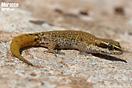 "<span class=""nc"">Saurodactylus brosseti</span>.<br />Localidad: Foulouste<br />Foto: © Octavio Jiménez Robles"