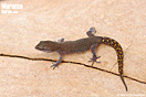 "<span class=""nc"">Saurodactylus brosseti</span>.<br />Localidad: Ben Moussa<br />Foto: © Mario Schweiger"
