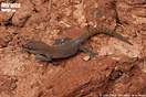 "<span class=""nc"">Saurodactylus brosseti</span>.<br />Localidad: Argana<br />Foto: © Juan Pablo González de la Vega"